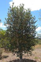 Sliver Banksia - Berringa Sanctuary