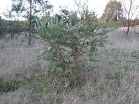 Sliver Banksia - The Block Berringa