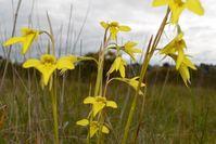 Small Golden Moths Orchid - Berringa Sanctuary