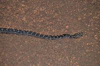 South Western Carpet Python - Karakamia Sanctuary - A.W.C -W.A