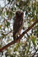Southern Boobook Owl - Berringa Sanctuary