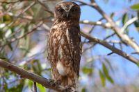 Southern Boobook owl - The Block Berringa.