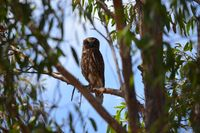 Southern Boobook owl - The Block Berringa.