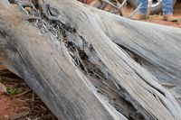 Stick nest rat nest - Scotia A.W.C
