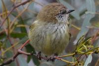 Straited Thornbill - Berringa Sanctuary
