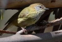 Striated Thornbll - Berringa Sanctuary