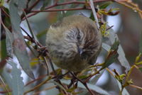 Striared Thornbill - Berringa Sanctuary