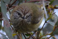 Striared Thornbill - Berringa Sanctuary