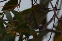 Striated Thornbill - Berringa