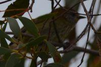 Striated Thornbill - Berringa