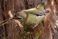 Striated Thornbll pulling bark from thr tree to make his nest- Berringa Sanctuary