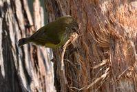 Striated Thornbll pulling bark from thr tree to make his nest- Berringa Sanctuary