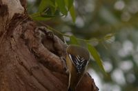 Striated pardalote - Berringa Sanctuary