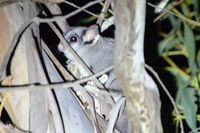 Sugar Glider - Berringa Sanctuary
