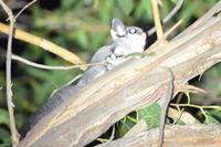 Sugar Glider - Berringa Sanctuary