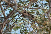 Sugar Glider Doing something different coming out during the day - Berringa Sanctuary