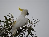 Sulphur Crested Cockatoo -  The Block Berringa