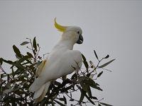 Sulphur Crested Cockatoo -  The Block Berringa