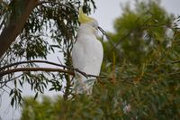 Sulphur Crested Cockatoo - Pails for Scales Unique Pets