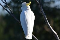 Sulphur- Crested Cockatoo- Berringa Sanctuary
