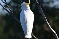 Sulphur- Crested Cockatoo- Berringa Sanctuary