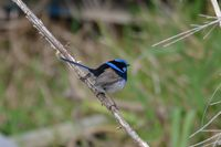 Superb Fairy Wren - Berringa Sanctuary
