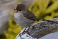 Superb Fairy Wren Female The Block Berringa