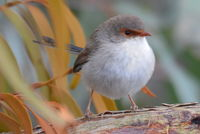 Superb Fairy Wren female - Berringa Sanctuary