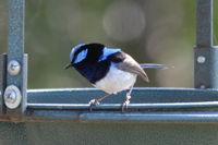 Superb Fairywren male The Block Berringa
