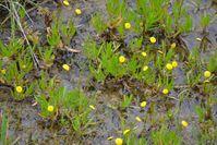Swamp Billy Buttons - Berringa Sanctuary