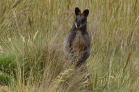 Swamp Wallaby - Berringa Sanctary
