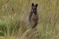 Swamp Wallaby - Berringa Sanctary