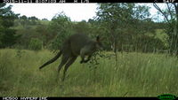 Swamp Wallaby - Berringa Sanctuary