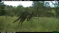 Swamp Wallaby - Berringa Sanctuary