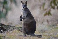 Swamp Wallaby - The Block Berringa