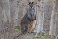 Swamp Wallaby The Block Berringa
