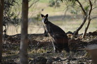 Swamp Wallibies - Berringa Sanctuary