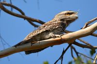 Tawny Frog Mouth - The Block Berringa