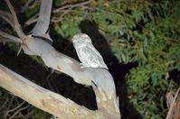 Tawny Frog Mouth - Berringa Sanctuary