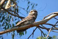 Tawny Frogmouth - Berringa Sanctuary