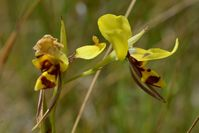 Tiger Orchid - The Block Sanctuary Berringa