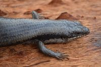 Tree Skink - Scotia A.W.C