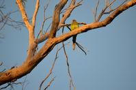 Twenty Eight Parrot - Lake Leschenaultia W.A