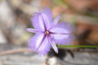 Twining Fringe Lily - Yanchep National Park - W.A