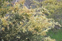 Wattle - Berringa Sanctuary