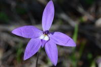 Wax Lip Orchid - The Block Sanctuary Berringa