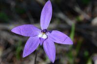 Wax Lip Orchid - The Block Sanctuary Berringa