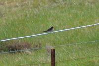 Welcome Swallow - Berringa Sanctuary