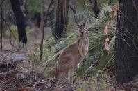 Western Grey Kangaroo - Walyunga National Park