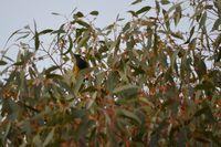 White Eared Honey Eater - The Block Berringa